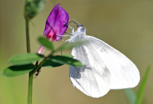 Wood white on common vetch