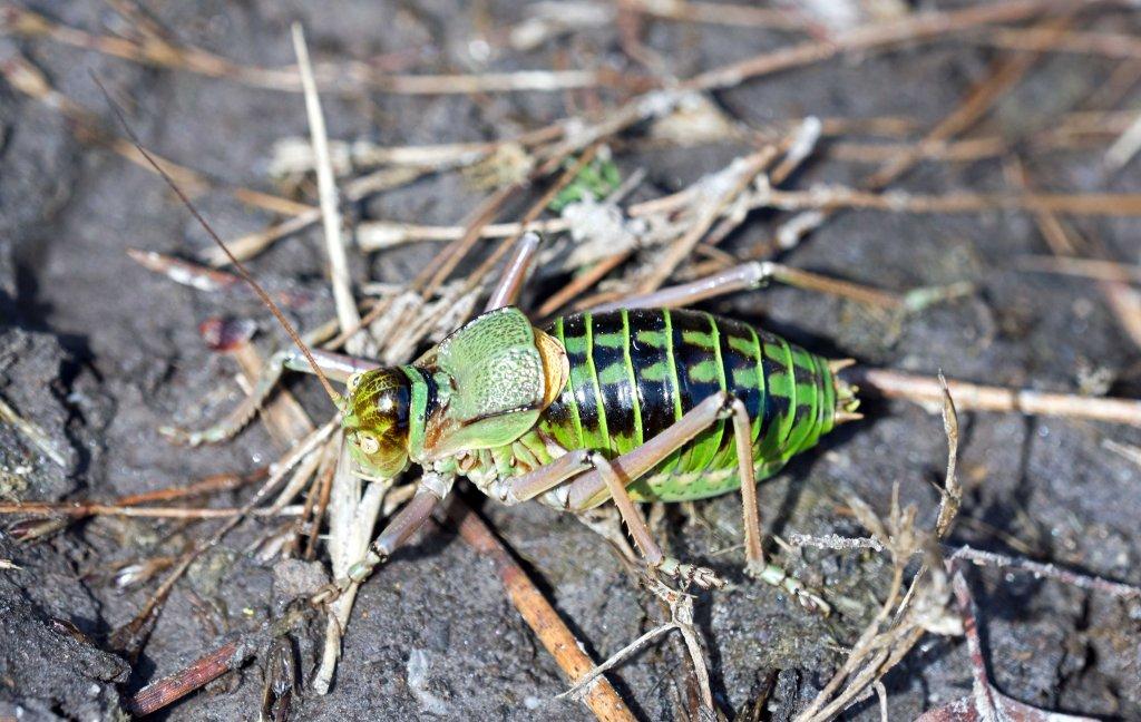 Saddle-Backed Bush Cricket, probably Ephippiger ephippiger cunii, male.