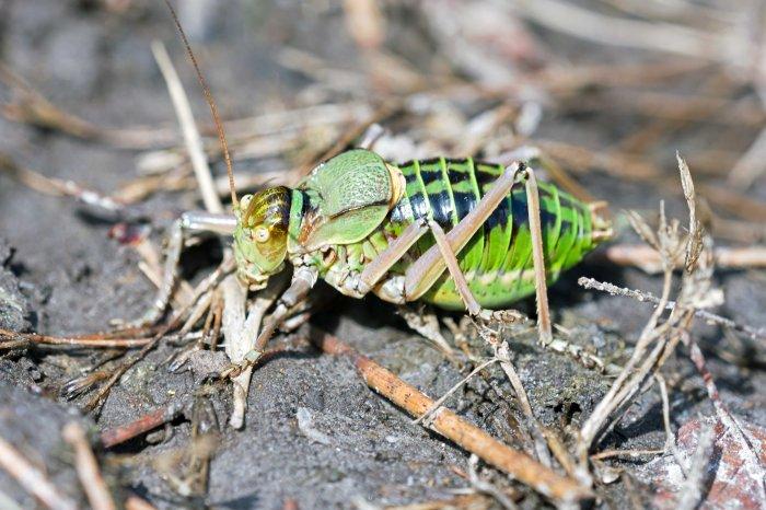 Saddle-Backed Bush Cricket, probably Ephippiger ephippiger cunii, male .