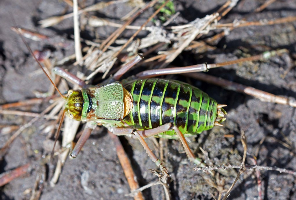Saddle-Backed Bush Cricket, probably Ephippiger ephippiger cunii, male. Dorsal view.