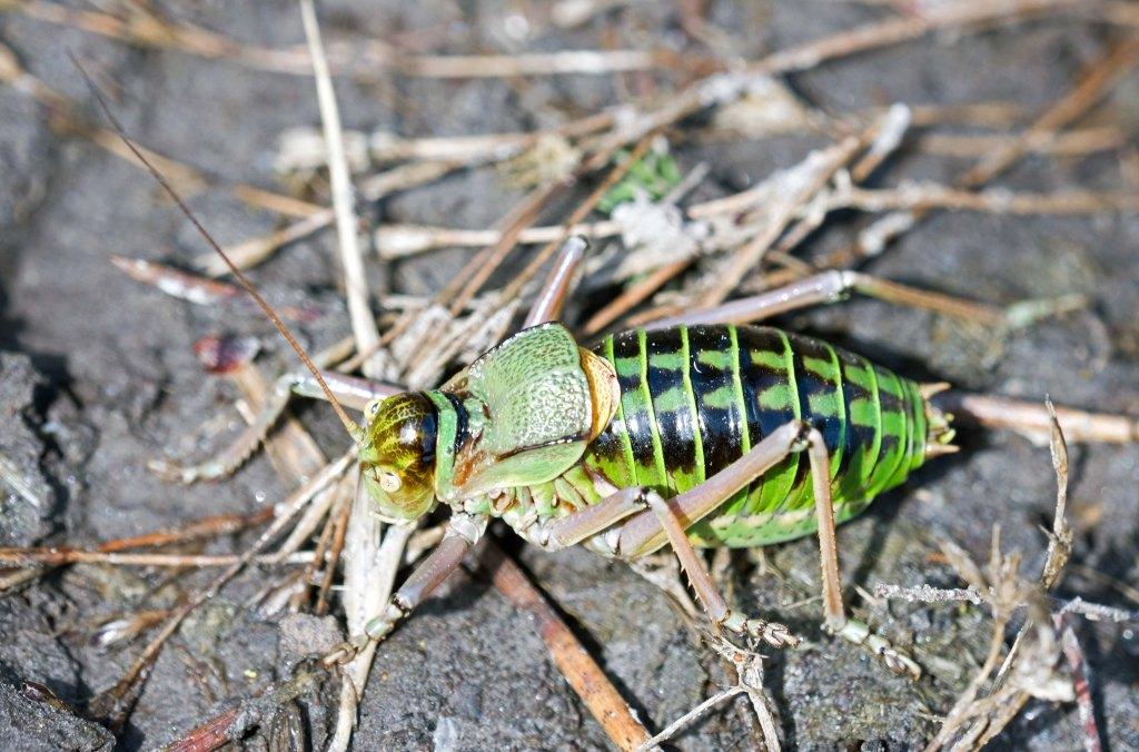 Saddle-Backed Bush Cricket, probably Ephippiger ephippiger cunii, male