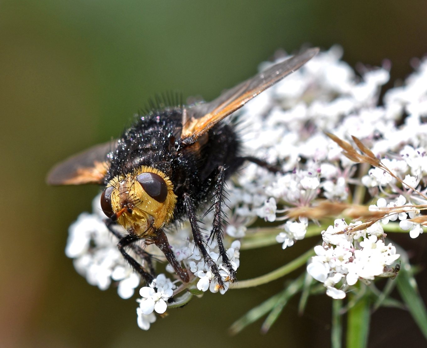 Giant tachinid fly (Tachina grossa) 7 Sept 18 front on