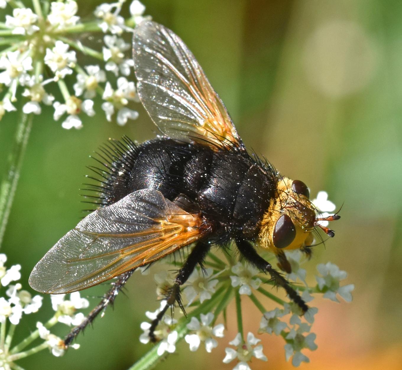 Giant tachinid fly (Tachina grossa) 7 Sept 18 iii.jpg