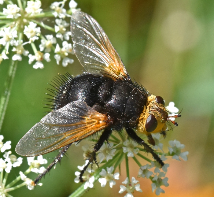 Giant tachinid fly (Tachina grossa) 7 Sept 18 iii.jpg