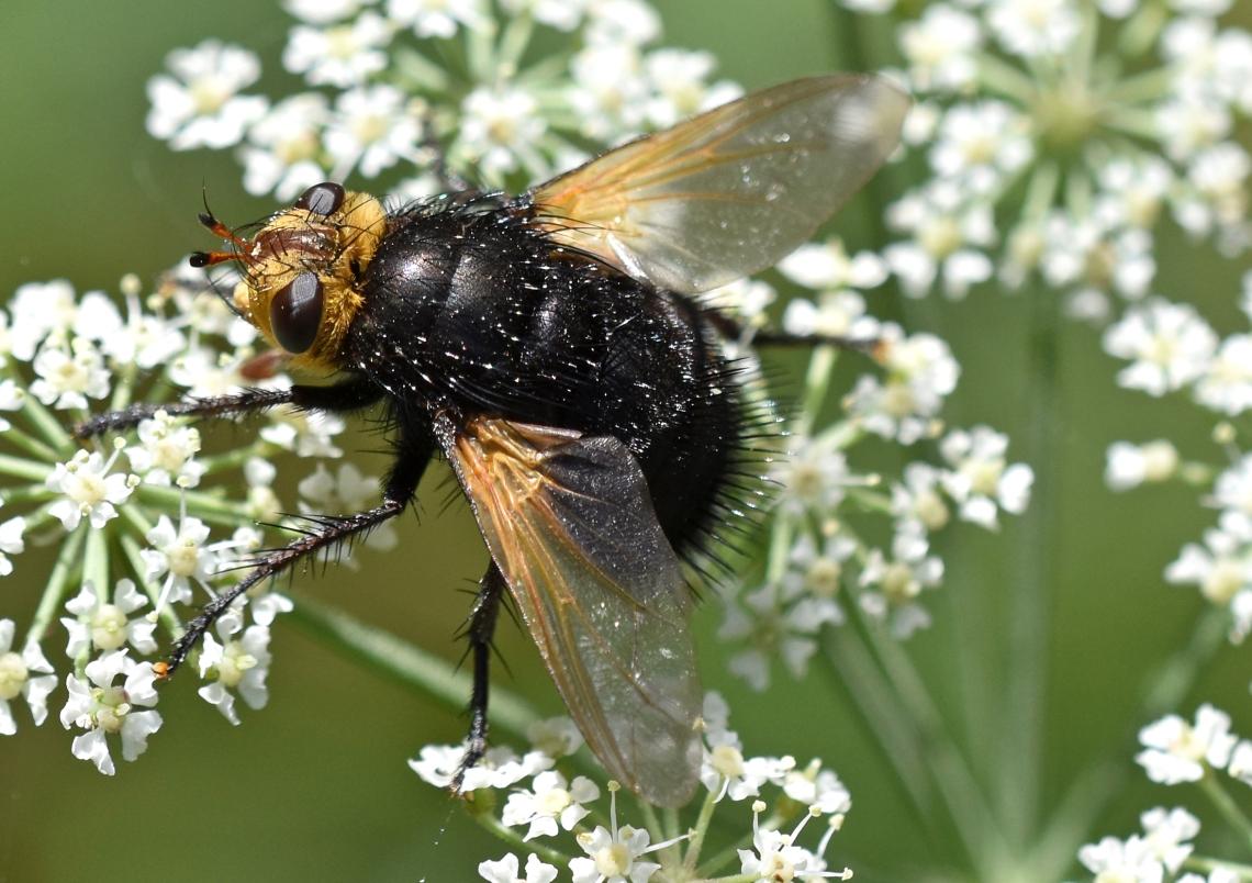 Giant tachinid fly (Tachina grossa) 7 Sept 18.jpg