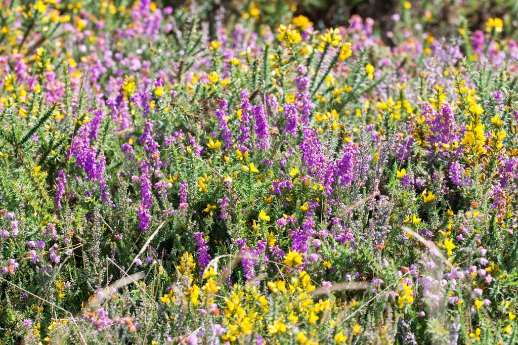 Heather and gorse habitat in Galicia, Spain, where T. grossa was seen.