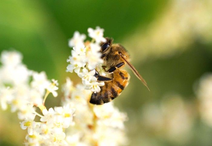 Honey bee on Japanese Knotweed flowers