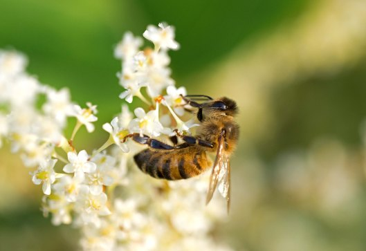 Honey bee on Japanese Knotweed flowers