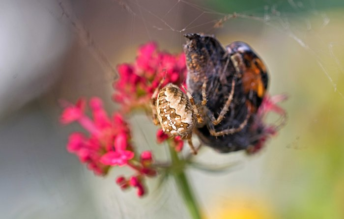 Orb spider with butterfly capture