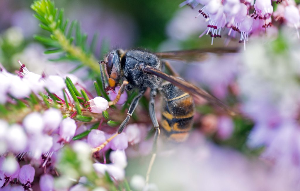 Asian hornet or yellow-legged hornet (Vespa velutina), on bell heather