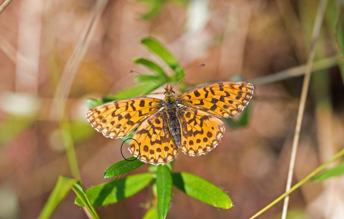 Weaver's fritillary (Boloria dia) Asturias, Spain. Sharp-angled hind-wing highlighted.