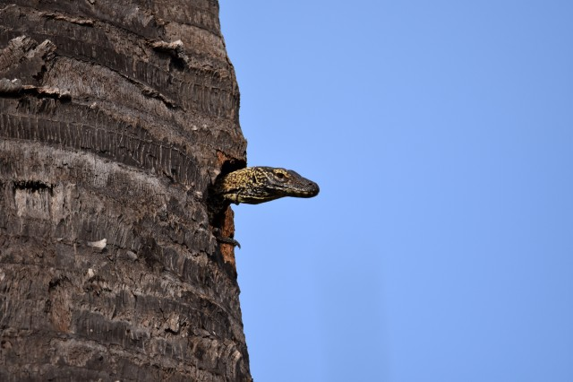 Baby Komodo dragon peering out of a hole up a palm tree.