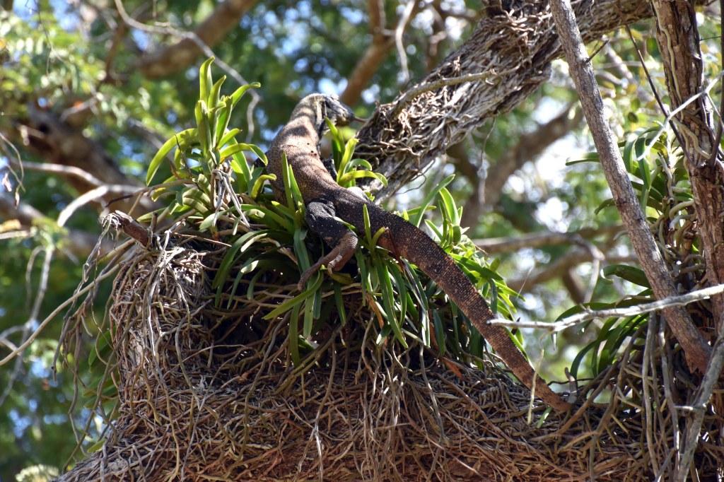 Young Komodo dragon hunting up a tree