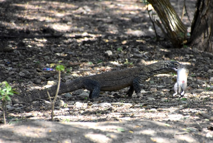 Young Komodo dragon with freshly killed rat in its mouth (Komodo Island)