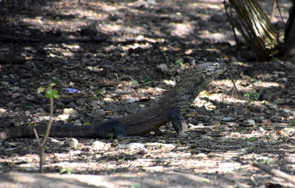 Young Komodo dragon swallowing a rat