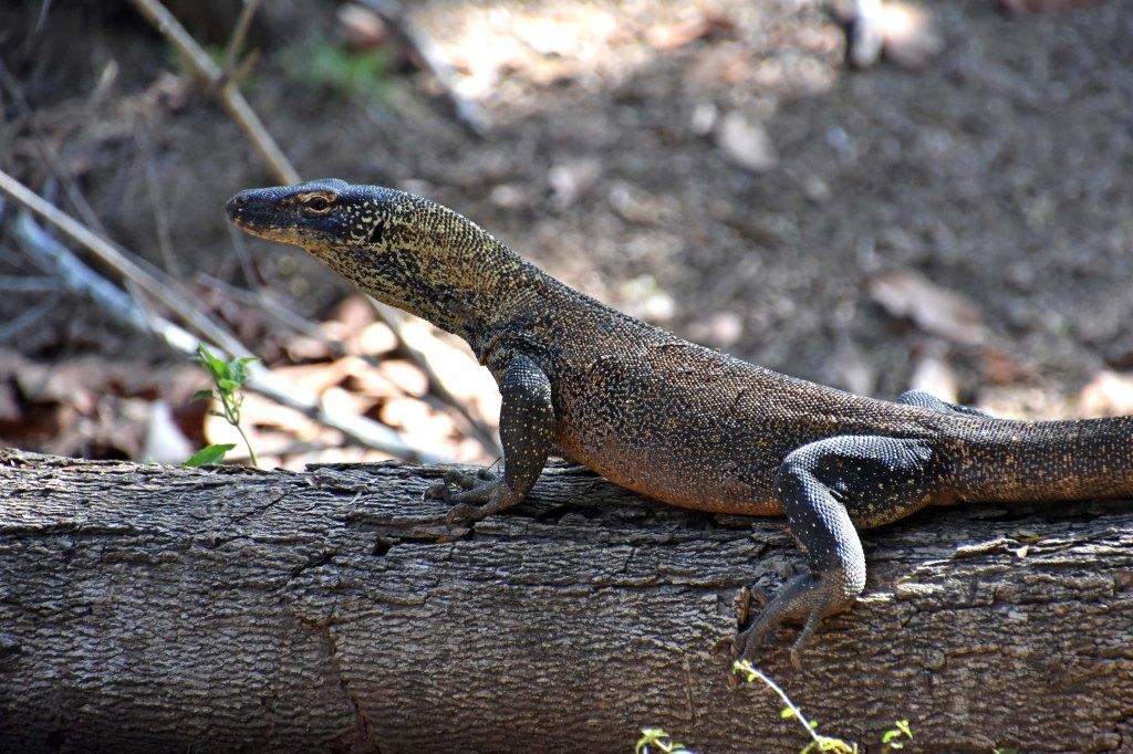 Young Komodo dragon resting on a log