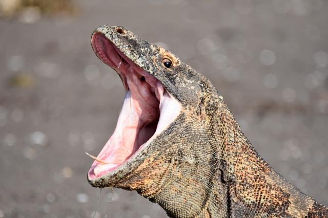 Komodo dragon with open mouth.