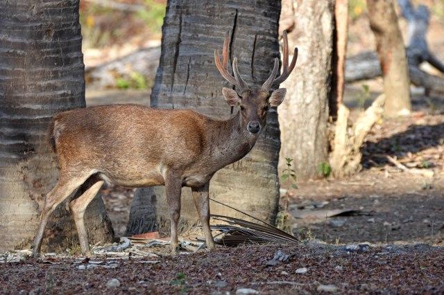 Timor deer or Sunba sambar (Rusa timorensis)