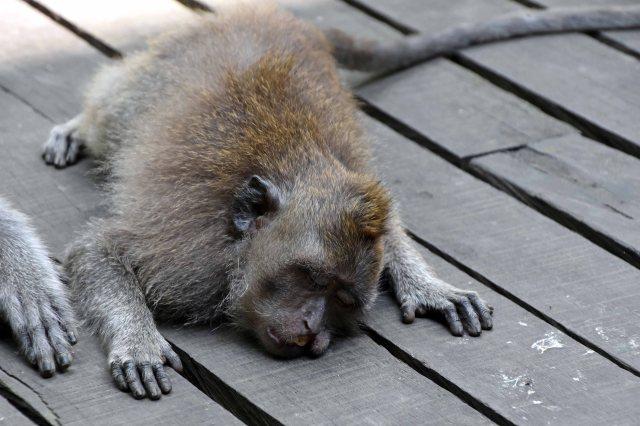 Crab-eating macaque (Macaca fascicularis) sleeping or dozing