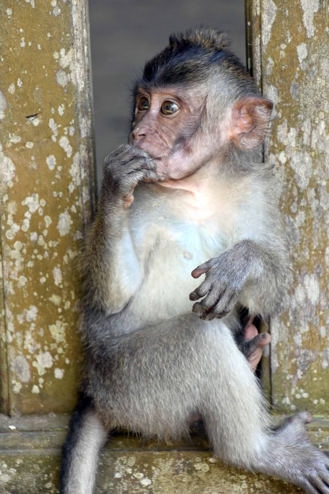 Crab-eating macaque (Macaca fascicularis) infant