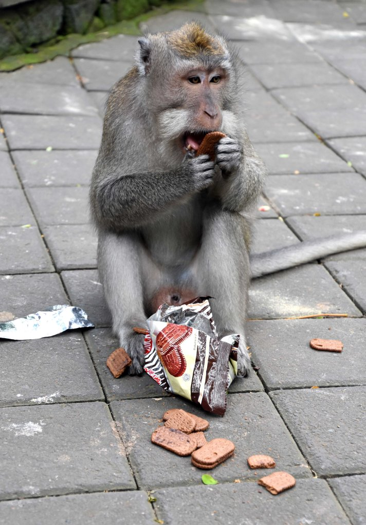 Crab-eating macaque (Macaca fascicularis) licking the cream off a biscuit