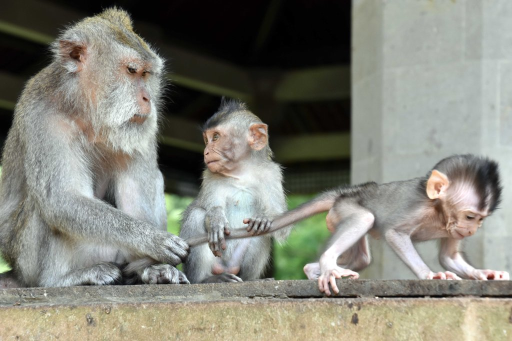 Crab-eating macaque (Macaca fascicularis) female with infant