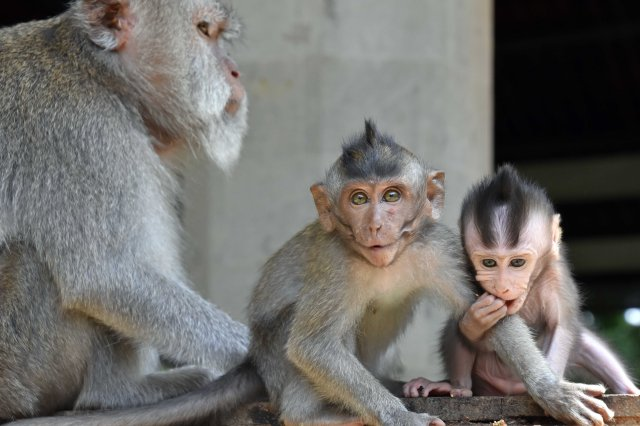 Crab-eating macaques (Macaca fascicularis) female with infants