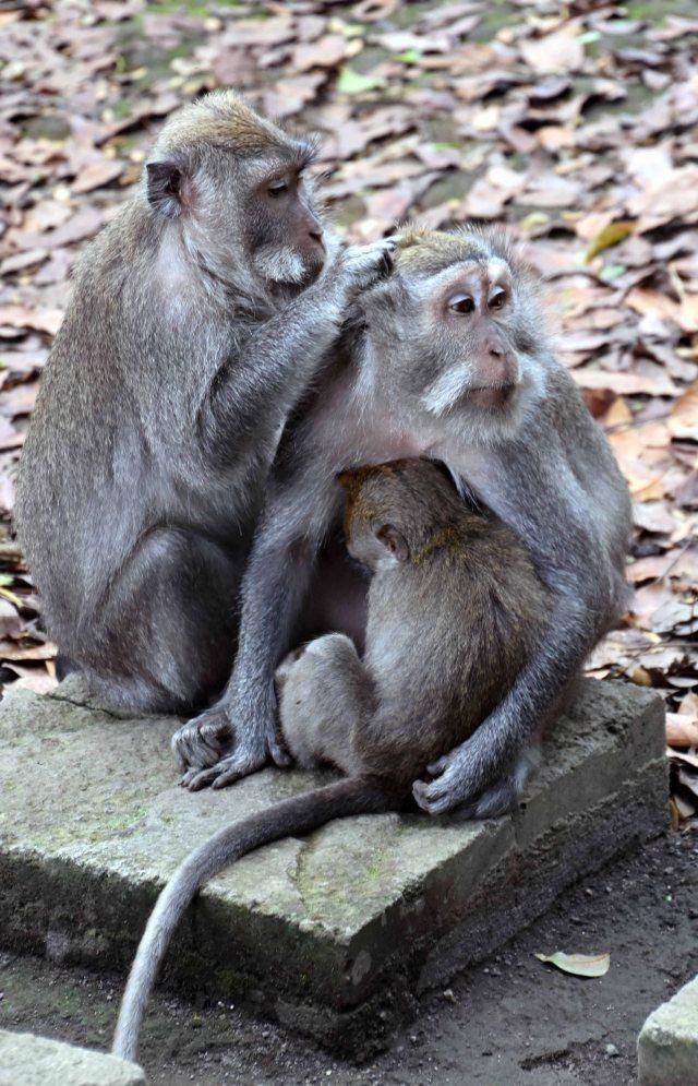 Crab-eating macaques (Macaca fascicularis) grooming