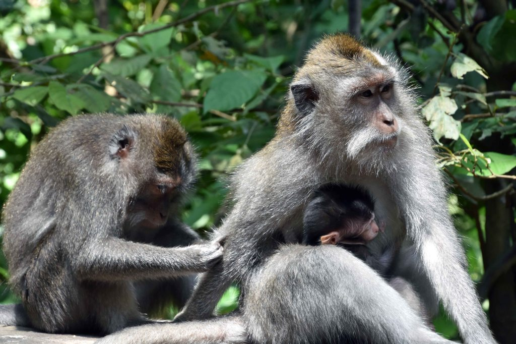 Crab-eating macaques (Macaca fascicularis) female with infant