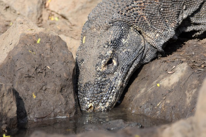 Komodo dragon (Varanus komodoensis) drinking from water hole