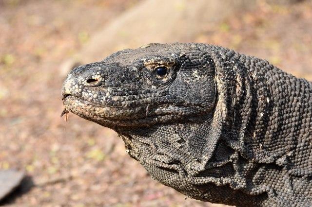 Komodo dragon (Varanus komodoensis) on Komodo Island