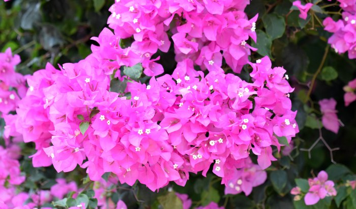 Bourgainvillea flowers