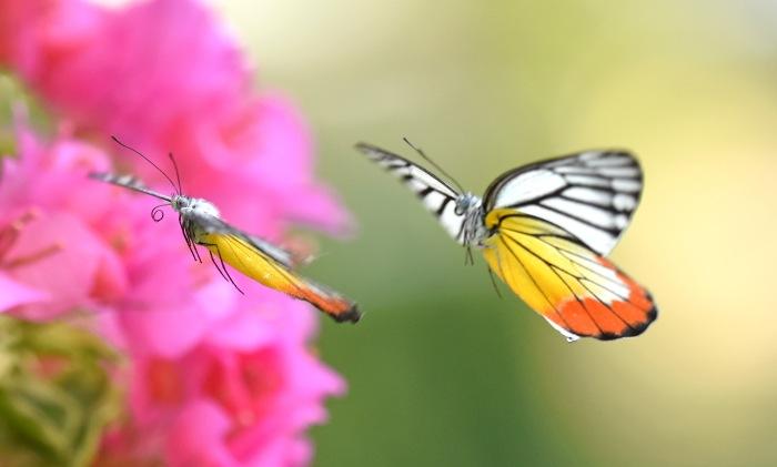 Painted Jezebels (Delias hyparete) male chasing female (uncurling proboscis)