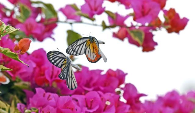 Painted Jezebels (Delias hyparete) male chasing female in flight