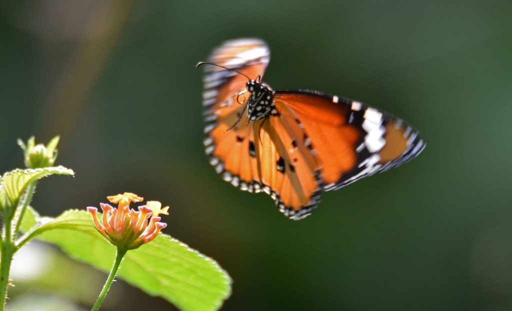 Danaus chrysippus bataviana male in flight