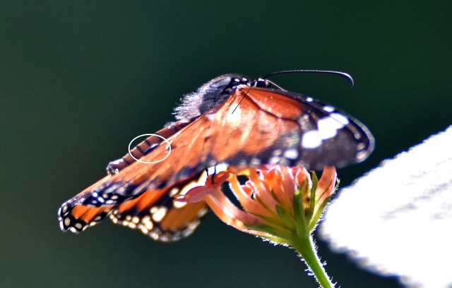 Danaus chrysippus bataviana male in profile showing alar pockets bulging on upper-side of hind-wing (white circle)