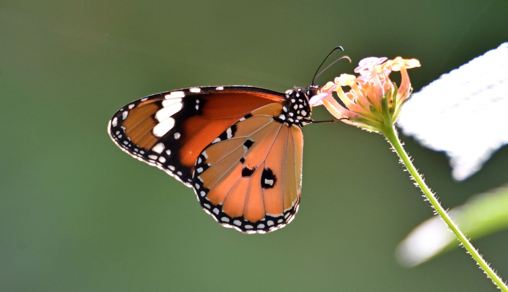 Danaus chrysippus bataviana male nectaring