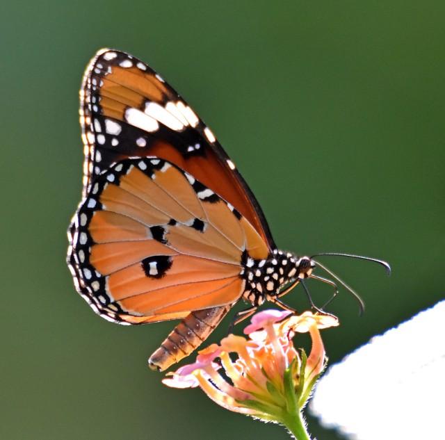 Danaus chrysippus bataviana male nectaring and showing abdomen