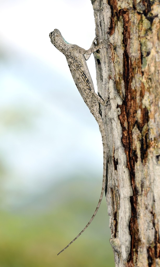 Javanese Flying Lizard (Draco volans), female in profile with tail raised.