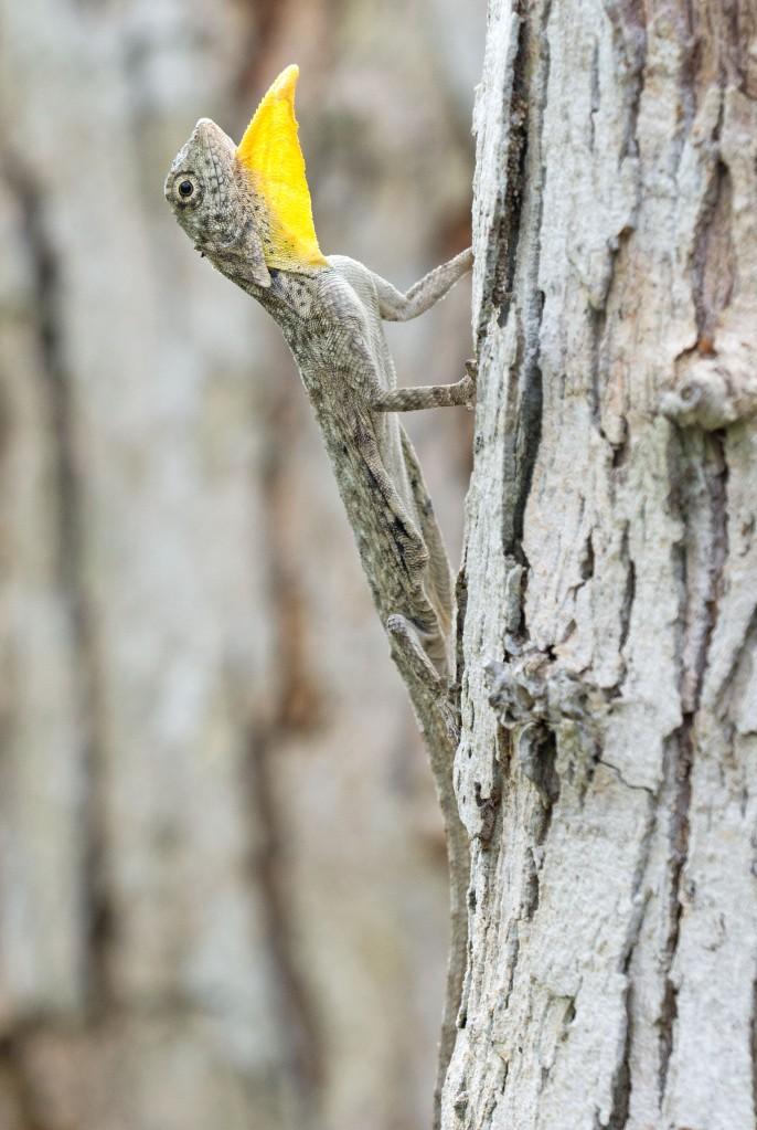 Javanese Flying Lizard (Draco volans) gular flap extended