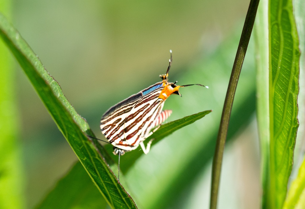 Long-banded Silverline (Spindasis lohita), looking down from above
