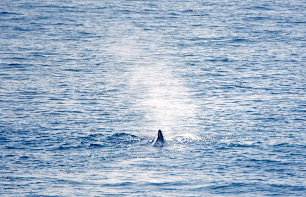 Sperm whale (Physeter macrocephalus) blowing at surface