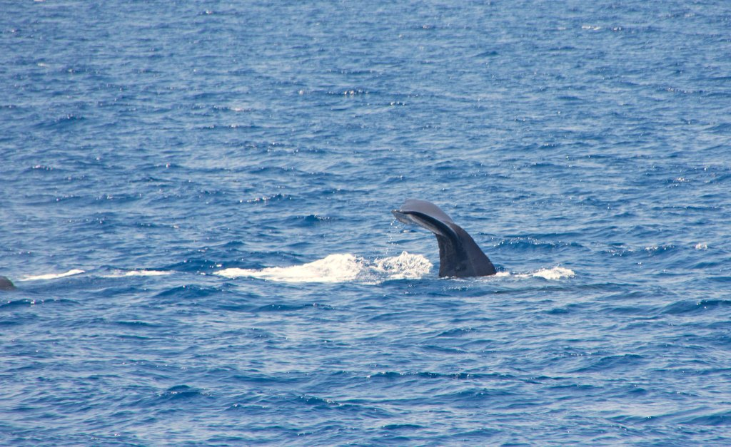 Sperm whale I (Physeter macrocephalus) diving