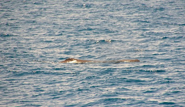 Sperm whale (Physeter macrocephalus) calf at the surface