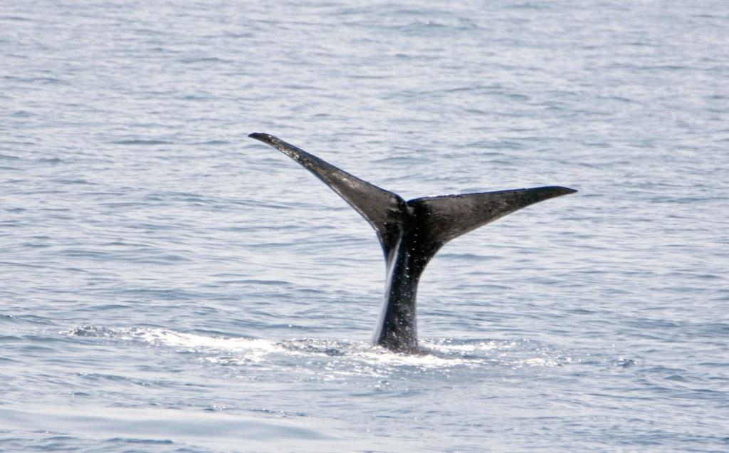 Sperm whale (Physeter macrocephalus) tail fluke