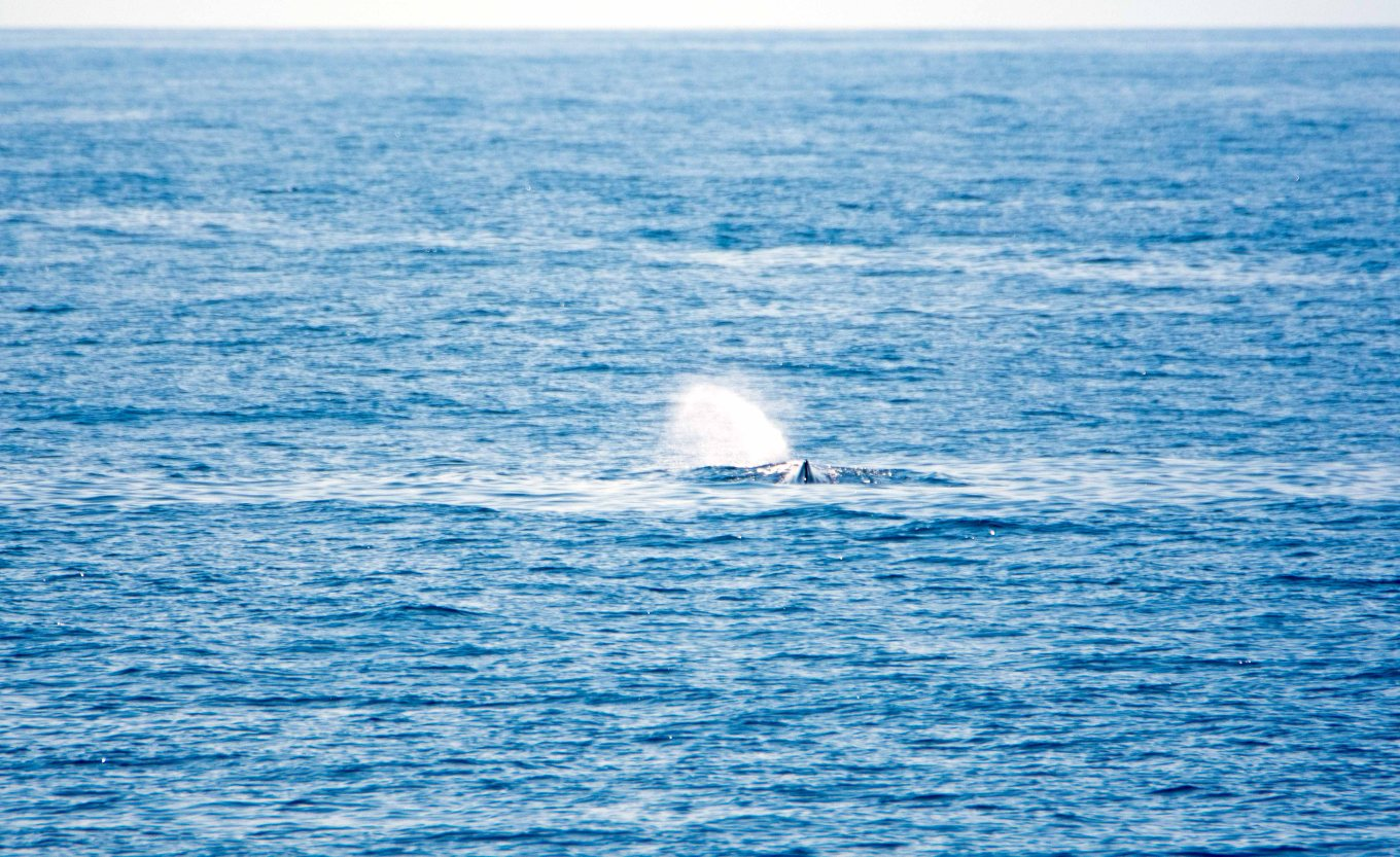 Sperm whale blowing to the left