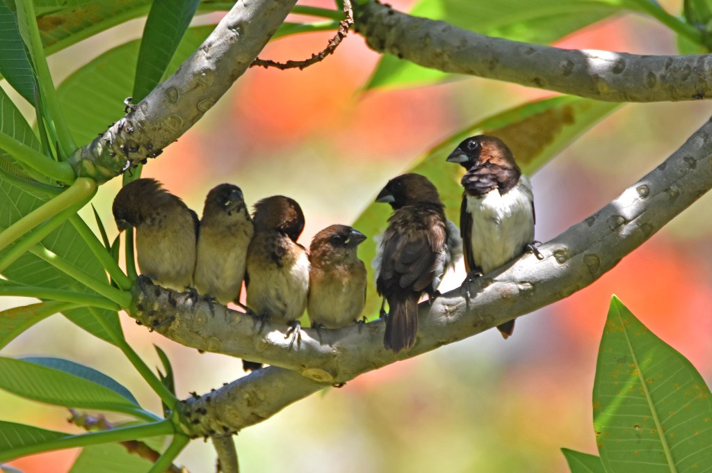 White-bellied munia family (Lonchura leucogastra) Bali