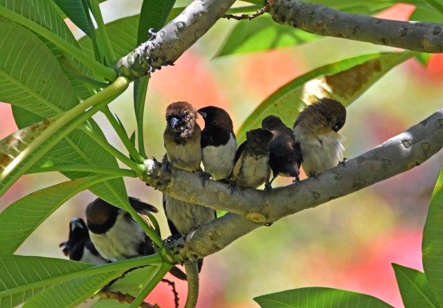White-bellied munia family (Lonchura leucogastra) Bali