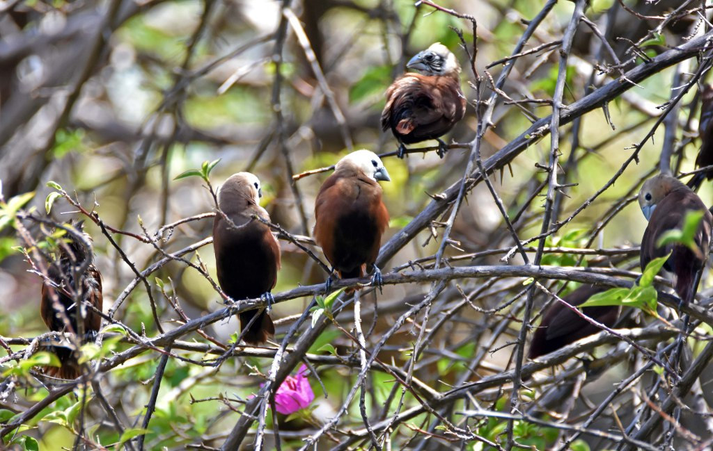 White-headed munias preening and sun-bathing (Lonchura maja maja) Bali