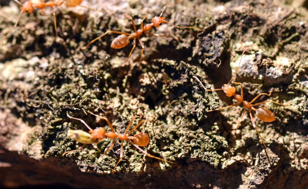 Ants on dipterocarp tree